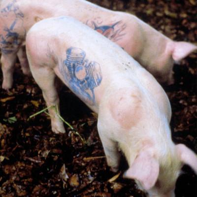 Wim Delvoye, Tatooed Pigs